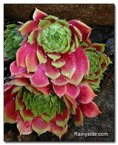 Cobweb houseleek   This sempervivum's new growth colors are a knockout!   The common name houseleek came about because the succulents were grown on the roofs of houses to protect against thunderstorms.   Beautiful red and chartreuse adorn this succulent's new foliage in spring. The rosettes fade to shades of green, and by late summer, fall and into winter, the leaves are a lovely tint of burgundy.