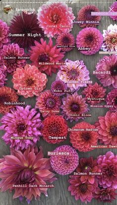 Colorful Flowers, Beautiful Flowers, Cut Flowers, Flora Farms, Flower Chart, Growing Dahlias, Flower Farmer, Cut Flower Garden, Dahlia Flower