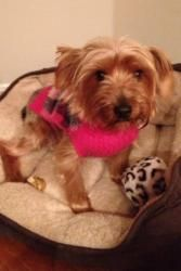 Dolly is an adoptable Yorkshire Terrier Yorkie Dog in Evansville, IN.  ...