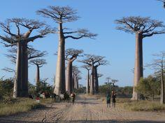 Resultados de la Búsqueda de imágenes de Google de http://upload.wikimedia.org/wikipedia/commons/f/f2/Baobabs_Avenue.jpg