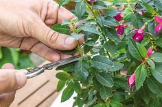 Uchovajme si najkrajšie fuksie Gardening, Hacks, Nature, Plants, Garten, Lawn And Garden, Horticulture