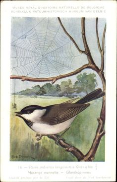 Künstler Ansichtskarte / Postkarte Dupond, Hubert, Parus palustris, Sumpfmeise, Nonnenmeise, Singvögel