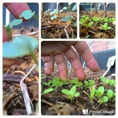 Mudas de alface e brócolis