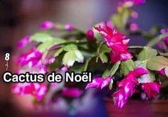 un cactus de noël en fleurs