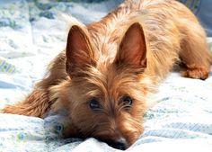 The Australian Terrier is a small breed of dog of the terrier dog type. It was developed in Australia, although the ancestral types of dogs from which the breed descends were from Great Britain | L'Australian Terrier è una piccola razza di cane di tipo terrier. Sviluppato in Australia, le vere origini da cui discende la razza sono inglesi
