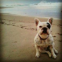 A French Bulldog at the beach.
