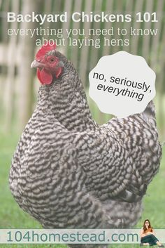 Are you considering raising backyard chickens? Welcome to your one-stop-shop for all things you need to know about laying hens, from hatch to laying. Seriously, EVERYTHING. Best Egg Laying Chickens, Laying Hens, Raising Backyard Chickens, Backyard Chicken Coops, Keeping Chickens, Diy Chicken Coop, Backyard Farming, Types Of Chickens, What To Feed Chickens