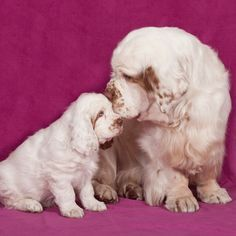 Clumber Spaniel & Pup ~ Classic Look