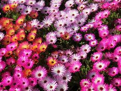 Ice Plant, Livingston Daisy