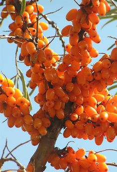 Sea Buckthorn Health Benefits