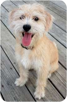 Cairn Terrier/Wheaten Terrier Mix Dog for adoption in Plainfield, Illinois - Humfrey