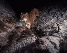 "#MyODFWTakeover - Cougar works on a mule deer carcass  Editor's Note: This week OSU Fisheries Professor Jonny Armstrong is taking over the ODFW Instagram to feature his wildlife photography which includes photos from Oregon as well as from around the world. Armstrong uses camera traps which are activated by the animal and set to capture certain characteristics that can help biologists study the animals through photography. You can follow him here: @Jonnybarmstrong ""A cougar works up a sweat…"