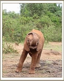 This is my foster elephant (!!!) Rapa in a playful mood :)  http://www.sheldrickwildlifetrust.org/
