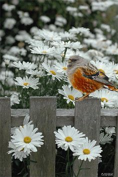 Daisy field with bird sitting on the fence