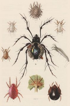 1957 Spider Mite Antique Print Entomology Insects by Craftissimo, €13.95