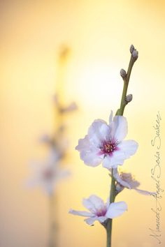 Almond Blossom -- represents Symbolizing hope, Delicacy, Sweetness