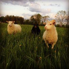 Lambs & grass in a new evening paddock . #lambs #icelandicsheep #rotationalgrazing