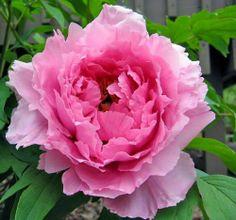 rose pivoine parisienne. Photo de Gege.