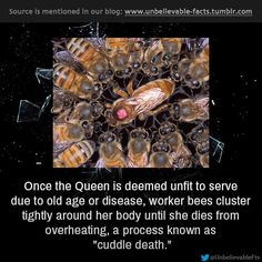 once the Queen is deemed unfit to serve due to old age or disease, worker bees cluster tightly around her body until she dies from overheating, a process known as