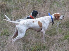 Tom and I view our role somewhat as hunting dogs … ranging out and chasing the scent in search of the helpful, innovative, and provocative. But even for us older dogs (that's me in the … Quail Hunting, Hunting Dogs, English Pointer Dog, Harris Hawk, Pointer Puppies, German Shorthaired Pointer, Dog Photos, Pointers, Dachshund