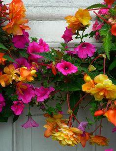 pretty colors! bergonias and petunias