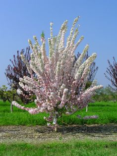 Pink Perfection Flowering Crabapple - Beautiful but susceptible to Apple Scab fungus. Can be controlled with fungiside.
