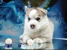 Щенок Сибирской хаски - голубоглазый и упатанный красавец по приемлемой цене!