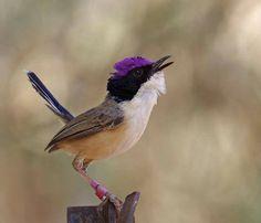 Purple Crowned Fairy-wren