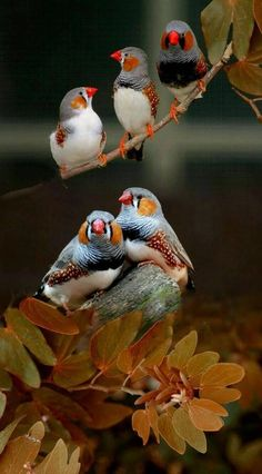Zebra finches are a bird species native to the Australian Outback and they're kept as pets in several countries. Zebra finches are a bird species native to the Australian Outback and they're kept as pets in several countries. All Birds, Cute Birds, Pretty Birds, Beautiful Birds, Animals Beautiful, Exotic Birds, Colorful Birds, Exotic Pets, Funny Bird