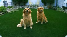 Two happy dogs on their synthetic grass yard. Artificial Grass For Dogs, Pet Grass, Dog Runs, Happy Dogs, Yard, Pets, Animals, Patio, Animales