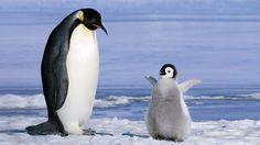 Penguin Wallpapers Free Penguin Desktop Backgrounds HD