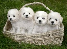 Bichon Frise, what my pups used to look like :)