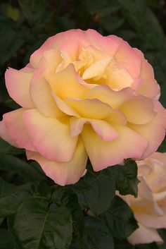 Pink Yellow Rose Yellow Roses, Pink Yellow, Pink Roses, Lilies Of The Field, Beautiful Roses, Lily, 3, Nature, Flowers