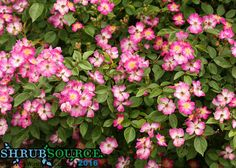 Oso Happy® Smoothie Rosa is thornless, highly disease resistant, low maintenance, and blooms from June to the first frost.  Love it!  http://shrubsource.com/