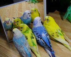 Frequent Misconceptions of Budgies