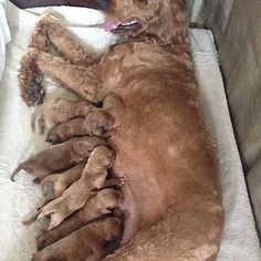 We Were Told 5 Pups And Got 10. Gdget Is Now A Proud Mama