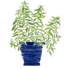 Art print Lemon verbena plant in a Blue planter, print of watercolor... (280 ZAR) ❤ liked on Polyvore featuring home, home decor, wall art, plantes, blue wall art, blue home decor, blue painting, photo painting and blue home accessories