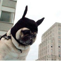 #pug #batman