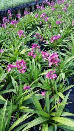Spathoglottis plictata ground orchid live Bulb cluster potted purple