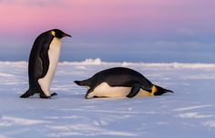 Visiting Antarctica is a once-in-a-lifetime experience. You can see penguins, seals, and whales in a... - Shutterstock