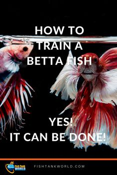 Train a Betta Fish is possible and great fun. Enjoy your fish having fun in the aquarium. via You can learn how to train a Betta fish to interact with you, play with you, and even do a few tricks. Learn what you can teach your betta fish. Aquarium Pump, Betta Aquarium, Fish Aquariums, Jellyfish Aquarium, Fisher, Betta Fish Care, Baby Betta Fish, Betta Fish Bowl, Fish Breeding