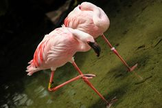 Flamboyance of Flamingos | wildlifehub