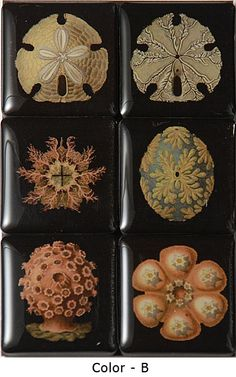 Ernst Haeckel was a natural scientist. Powerful modern microscopes have confirmed the accuracy of his prints, which, even in their day, became world famous. Haeckel's portfolio was first published between 1899 and 1904.