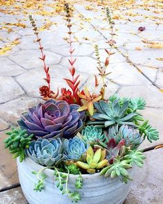 Everyone needs a little color in their lives Waiting for someone to create a literal rainbow #succulentarrangement but until then this potted design is pure #colorfulsucculents inspiration (Photo: growbackyardgarden.com)