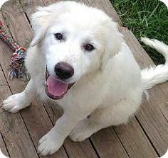 6/12/14 Beacon, NY - Great Pyrenees. Meet Melody in OK - new pup!, a puppy for adoption. http://www.adoptapet.com/pet/10953950-beacon-new-york-great-pyrenees