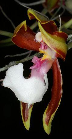 Orchid Odontoglossum Cariferum