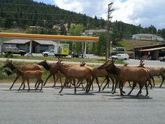Elk crossing a road in Evergreen Colorado.  We have SOO many elk here! I love it :)