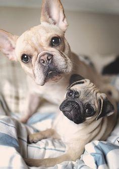 Cute Pug Puppy & French Bulldog Puppy
