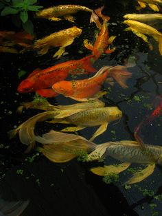 Lovely Koi Pond