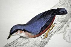 """5 ornithologische prenten van Prideaux John Selby (1788 - 1867)-'IIlustrations of Ornithology' (van 1826 tot 1843) deel II  Deze zeldzame gravures komen uit het tweede deel van Jardine en Selby's """"IIllustrations of Ornithology"""" gepubliceerd tussen 1826 en 1843 in Edinburgh door Daniel Lizars. Het monumentale werk werd eerst uitgebracht in kleinere delen. Vanwege de grootte van de productie (501 platen) zijn er niet veel herdrukken geweest wat de platen moeilijk verkrijgbaar maakt. De platen…"""